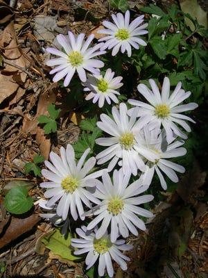 Sanguinaria canadensis (Bloodroot) est une fleur sauvage des bois communs que l'on trouve dans une grande partie du Kentucky