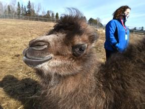 Un bébé chameau de Bactriane vient de naître le 1er mars au Valley Zoo, qui rouvre ses expositions extérieures le 25 mars après la fermeture pour la pandémie à Edmonton, le 23 mars 2021.