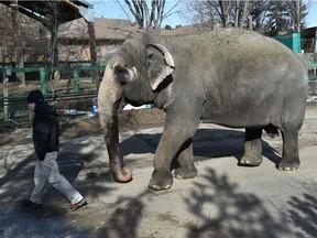 Lucy l'éléphant lors de sa promenade matinale au Valley Zoo, qui rouvre ses expositions en plein air le 25 mars après la fermeture pour la pandémie d'Edmonton, le 23 mars 2021.