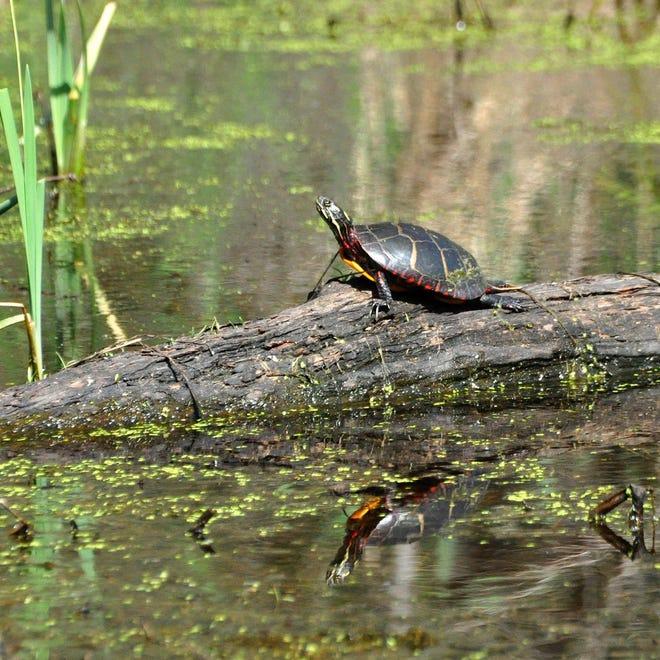 Une tortue à Mill Pond à Acushnet, située à The Sawmill, une réserve créée par la Buzzards Bay Coalition.